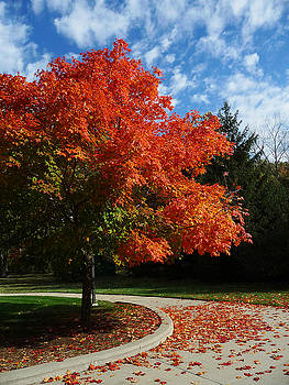 Maple tree by Robert Amman