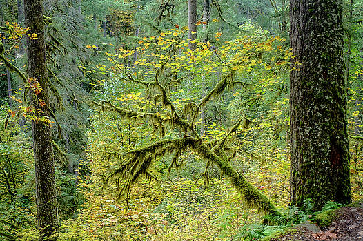 Maple with Douglas Firs by Richard Rodney Greenough