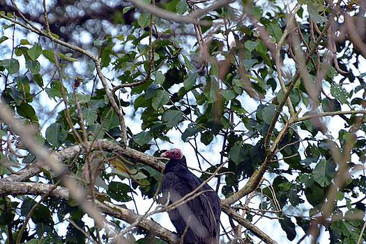 Harvey Barrison - Marayali Creek and the Lessor Yellow-headed Vulture