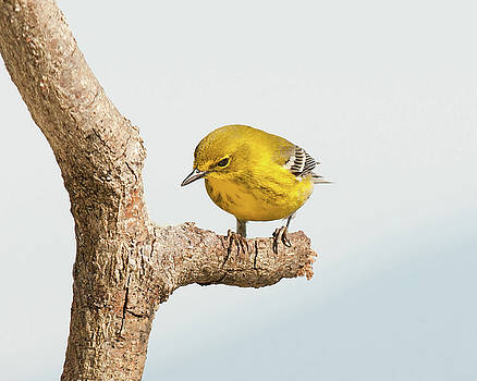 Lara Ellis - March 2016 Pine Warbler 1