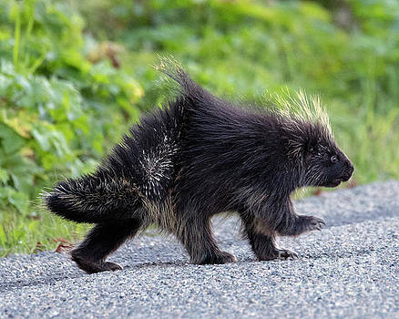 March of the Porcupine by Mike Dawson