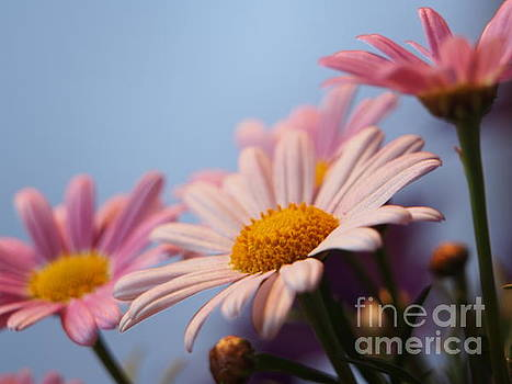 Marguerite On A Clear Day by Dorothy Lee