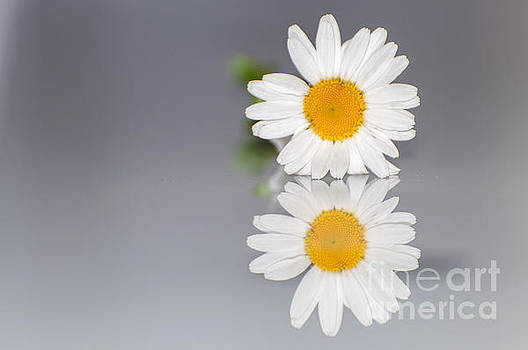 Marguerite Reflections by Selim Aydin