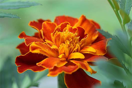 Marigold by Bob See