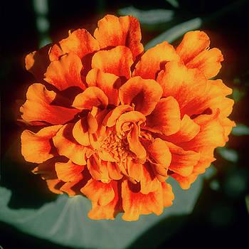 Marigold Closeup by John Brink
