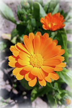 Marigold Flower by Marinela Feier