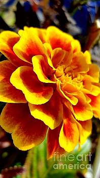 Marigold happy by Marlene Williams