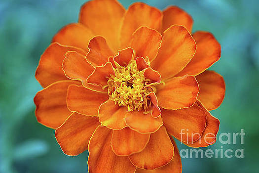 Marigold by Karen Adams