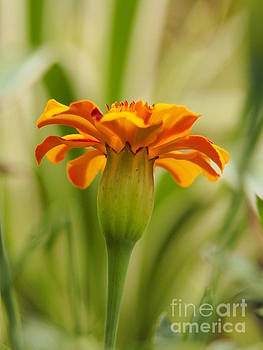 Marigold On A Lovely Spring Day 2 by Dorothy Lee
