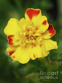 Marigold Portrait by Dorothy Lee