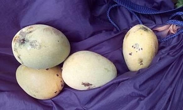 Marigot Mangoes by William James