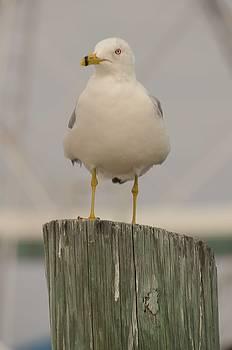 Marina Sea Gull by Maria Suhr