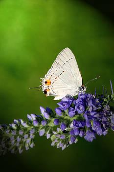 Jeannie Burleson - Marius Hairstreak Butterfly