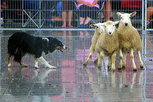 Market Square Sheep Trials Demo by Paul Wash
