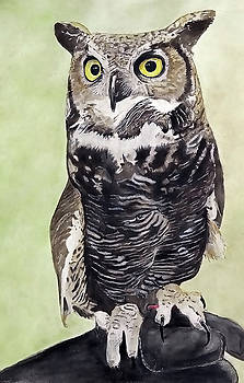 Marley, owl in captivity by Jodi Schneider