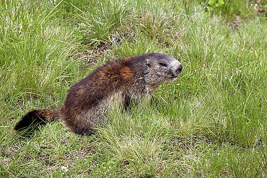 Aivar Mikko - Marmot