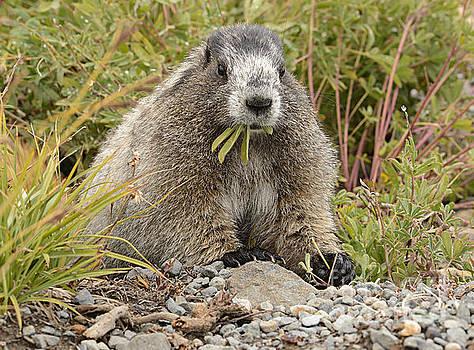 Marmot Eating Salad by Marv Vandehey