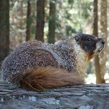 #marmot #travel #sequoianationalpark by Patricia And Craig