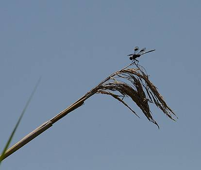 Marsh Dragonfly by Douglas Grohne