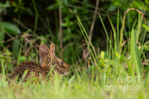 Marsh Hare by Natural Focal Point Photography