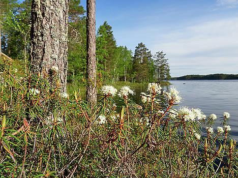 Marsh Labrador tea by Haukkajarvi by Jouko Lehto