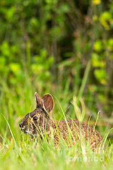 Marsh Rabbit in Cover by Natural Focal Point Photography