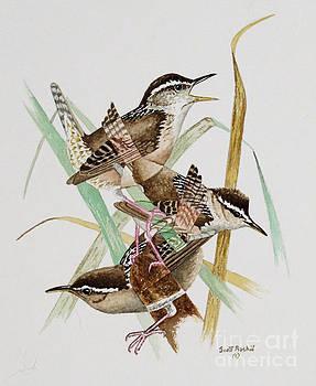 Marsh Wren by Scott Rashid