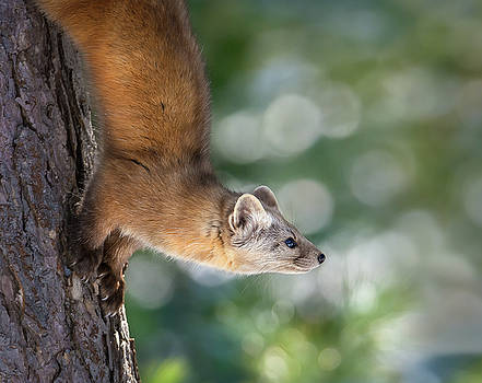 Marten on Tamarack by Tracy Munson