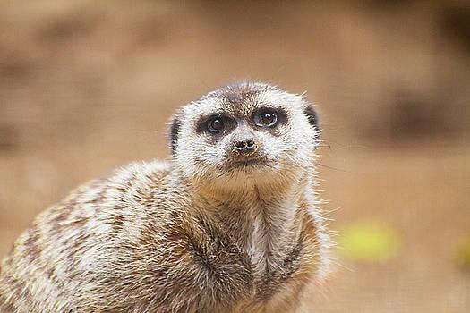 marvelous Meerkat by Ruth Jolly
