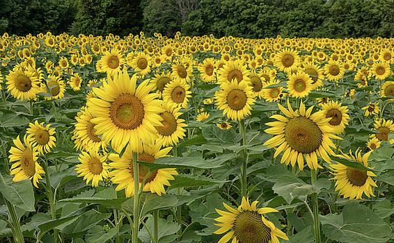 Maryland Sunflowers by Jack Nevitt