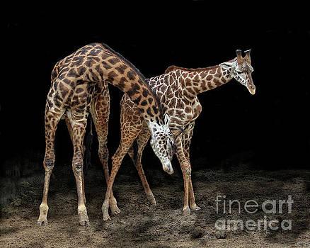 Masai Giraffes - Houston Zoo by TN Fairey