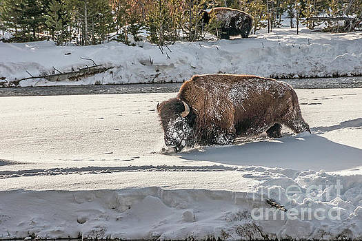 Masked Bison by Sue Smith