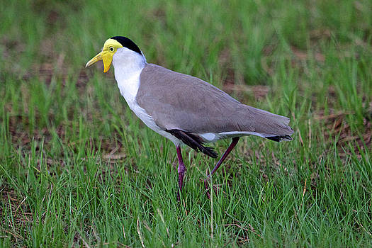 Masked Lapwing, Mary River, Australia by Venetia Featherstone-Witty