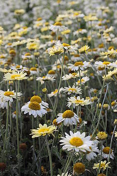 Mass of Daisies by Denice Breaux