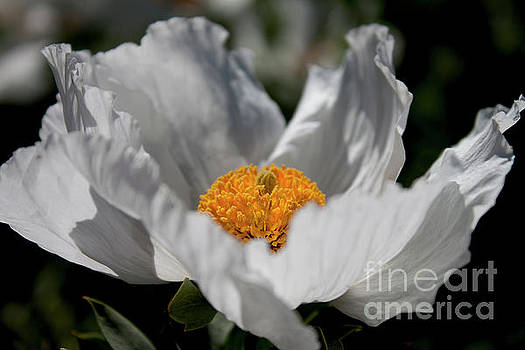 Matilija Poppy by Ivete Basso Photography