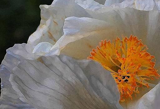 Matilija Poppy by Jennifer Lawrence