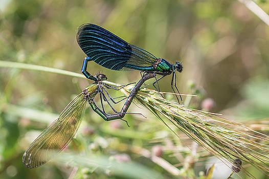Mating couple Banded demoiselle - Calopteryx splendens by Jivko Nakev