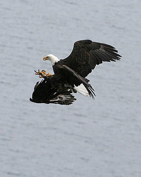 Mating Eagles NW3296 by Mary Gaines