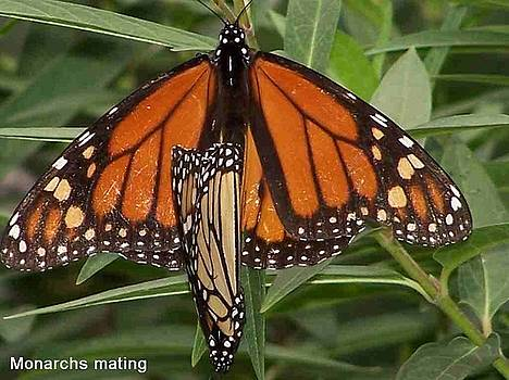 Mating Monarchs by Sandy Collier