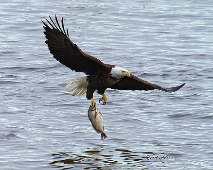 Mature Bald Eagle Snagging Fish by Deb Henman