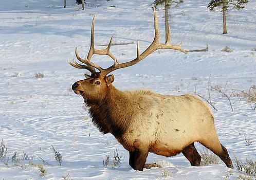 Reimar Gaertner - Mature bull elk with antlers walking in deep snow at Blacktail D