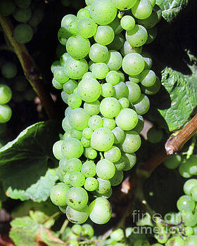 California Views Mr Pat Hathaway Archives - Mature cluster of Chardonnay wine grapes on the vine on River Ro