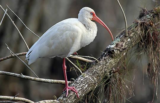 Juergen Roth - Mature Ibis