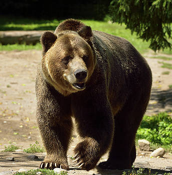 Reimar Gaertner - Mature Mainland Grizzly bear subspecies of brown bear walking on
