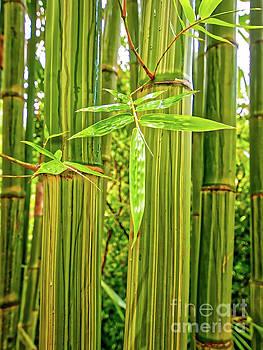Maui Bamboo  by Tom Jelen