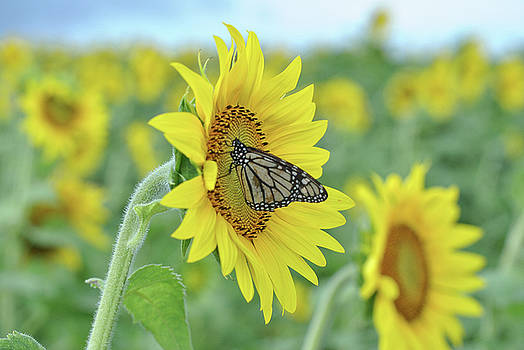 Maui Sunflower Monarch by Megan Martens