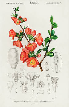 Maules quince - Cydonia japonica illustrated by Charles Dessalines by Charles Dessalines D' Orbigny