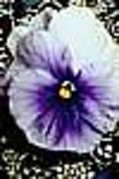 Mauve Pansy by Shirley Sacks