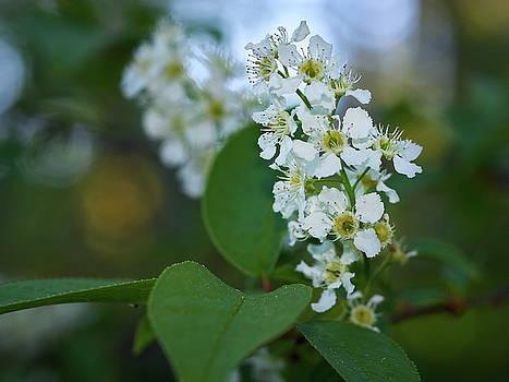 Mayday tree flowers by Jouko Lehto