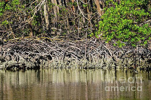 Bob Phillips - Maze of Mangrove Roots